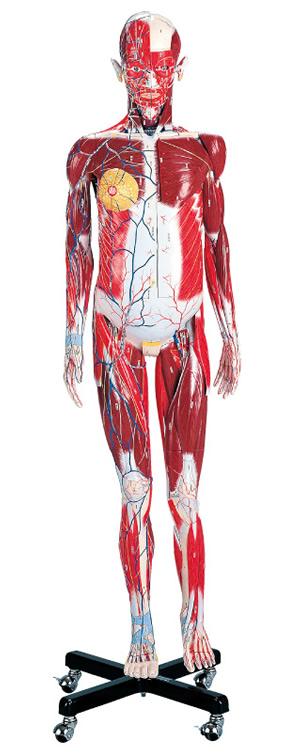 Human Anatomy Model Male J101 Model Index Product Index